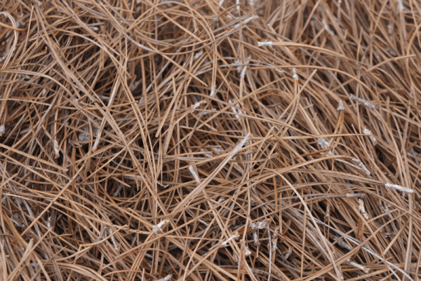 Slash Pine Straw